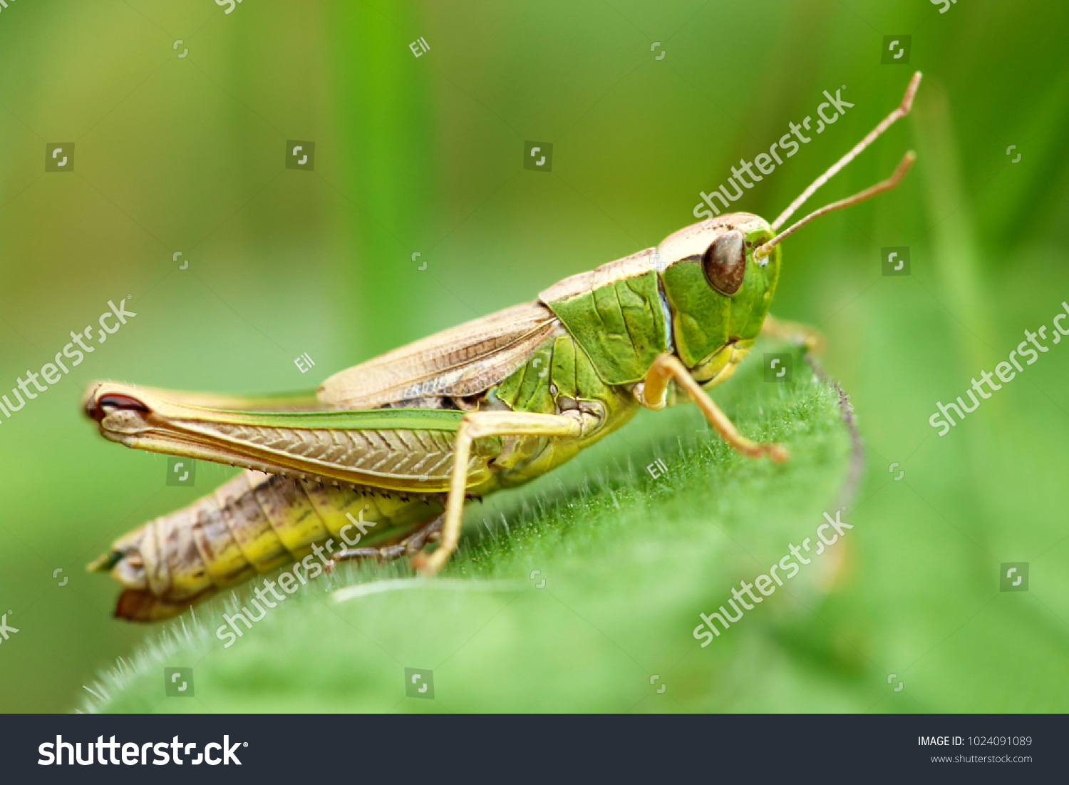 Meadow grasshopper, grasshopper #1024091089