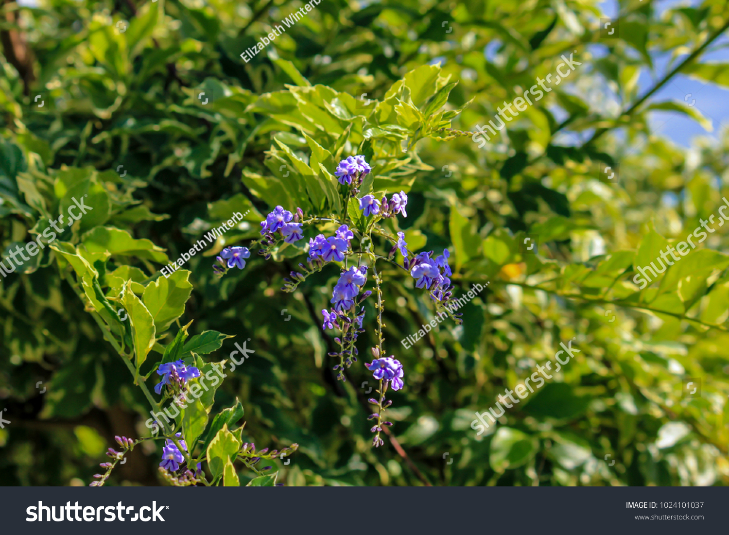 Small Purple Flowers Blooming On One Stock Photo Edit Now 1024101037