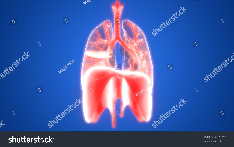 Human Respiratory System Lungs Diaphragm Anatomy Stock Illustration