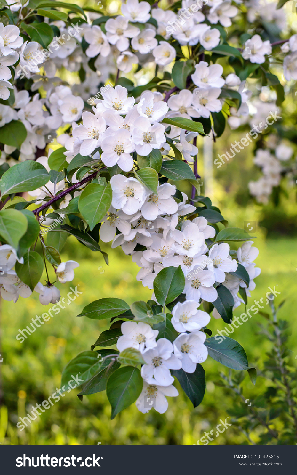 Spring Picture Beautiful Branch Of A Blossoming Apple Tree With