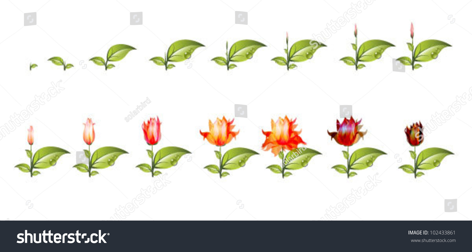Stage Growth Flower Isolated On White Stock Vector