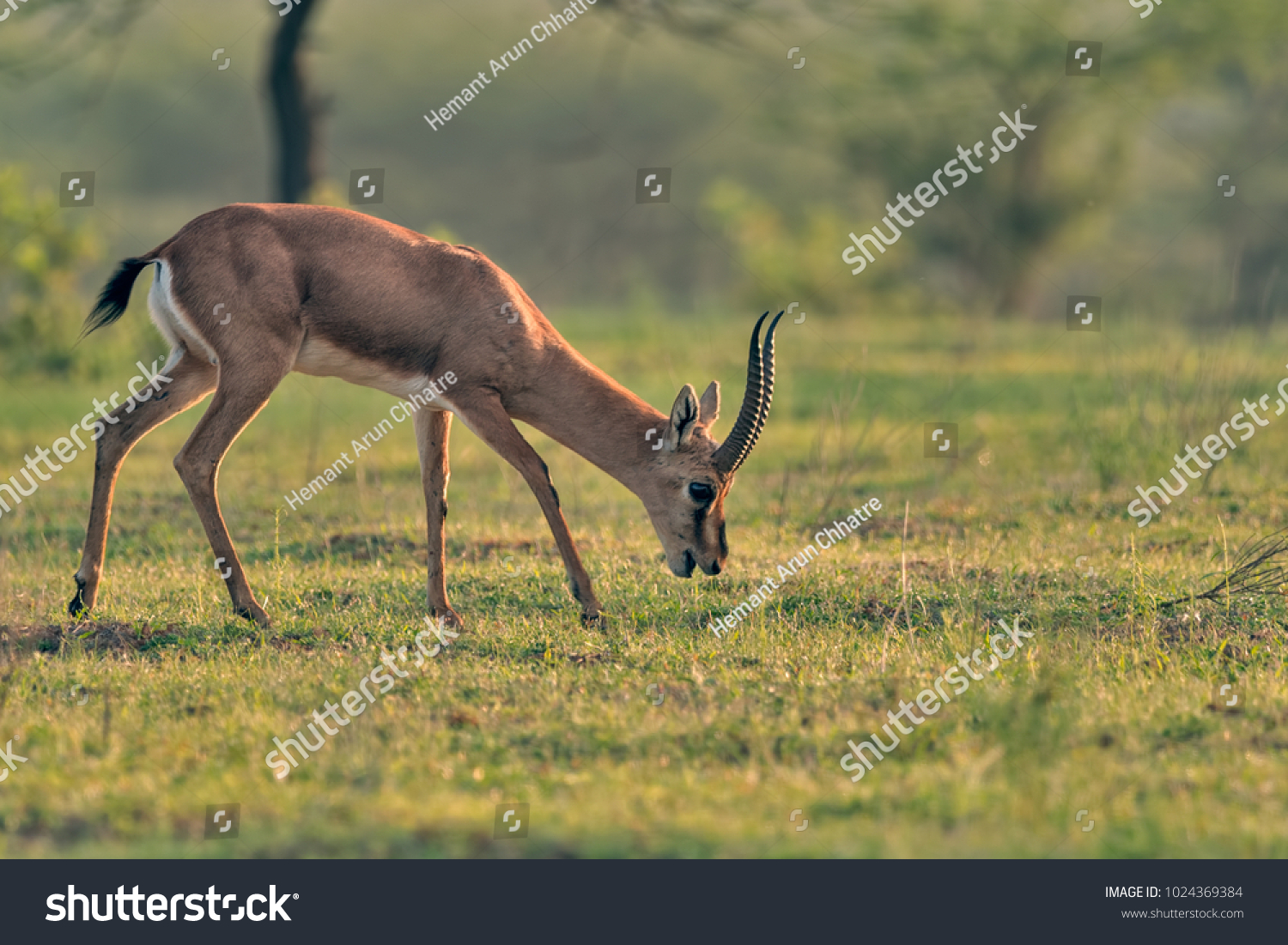 The chinkara, also known as the Indian… Stock Photo