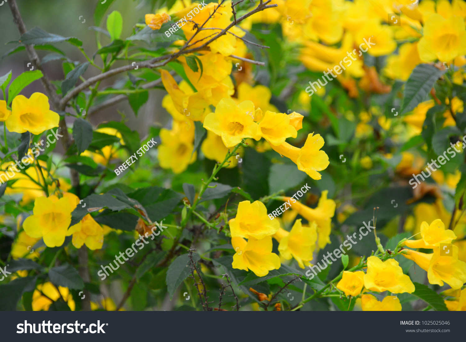 Yellow Trumpet Bush Species Flowering Shrub Stock Photo Edit Now