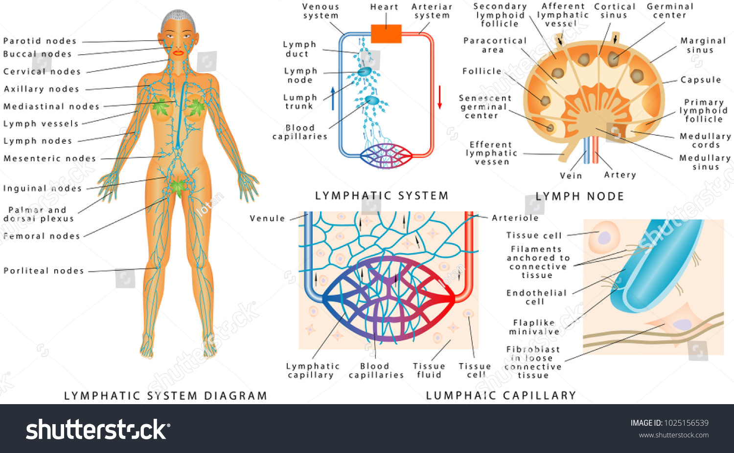 Lymphatic System Lymphatic Diagram Human Structure Stock Vector