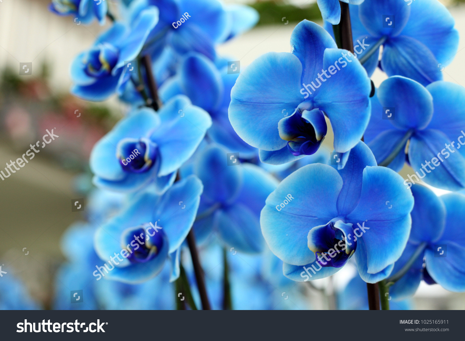 Blue Orchid Flower Stock Photo Edit Now 1025165911 Shutterstock