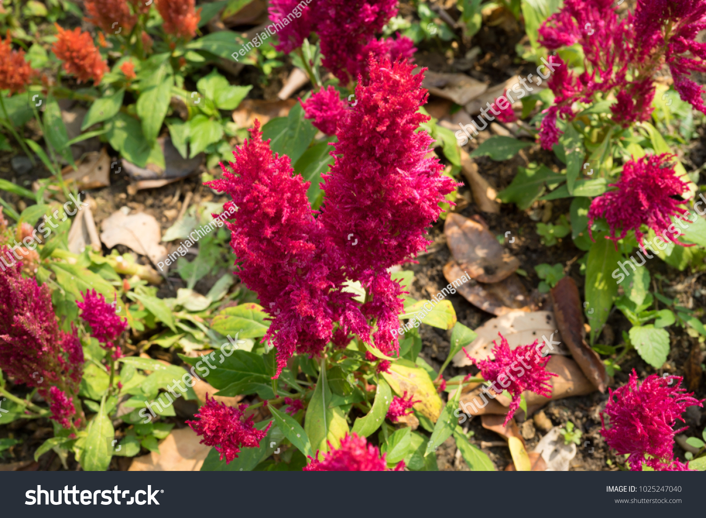 Celosia Argentea L Flowers Tall About Stock Photo Edit Now