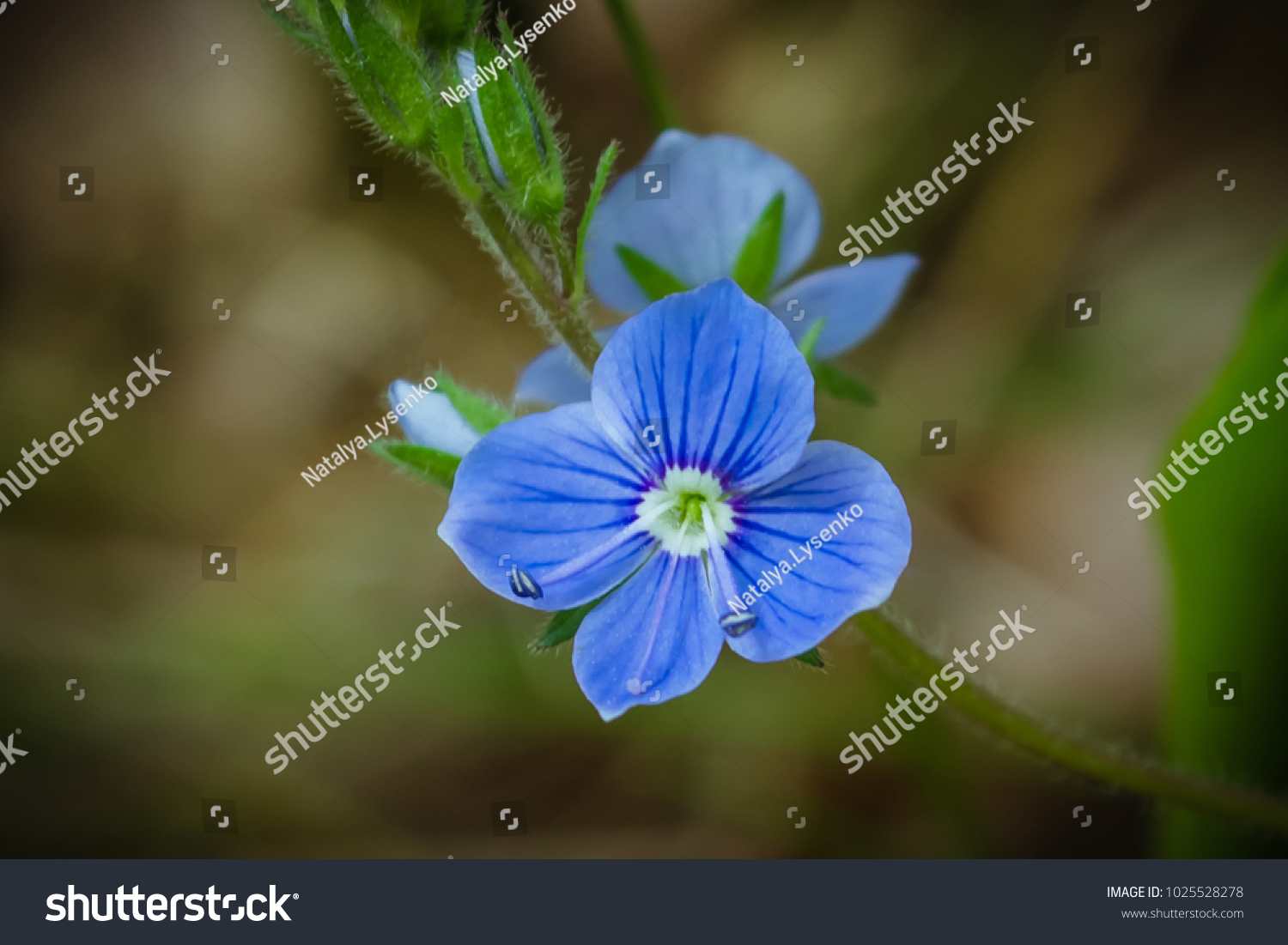Small Blue Forest Flower Spring Forest Stock Photo (Royalty Free ...
