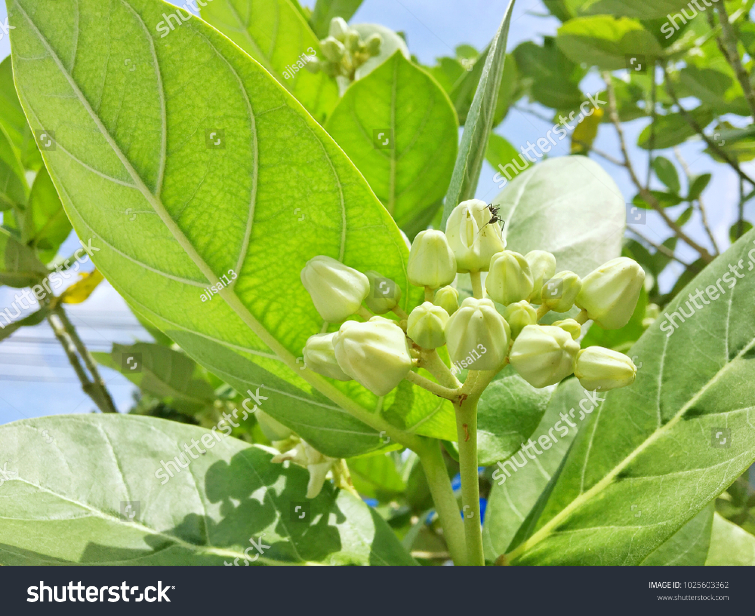 White Crown Flowers Gigantic Swallowwort Giant Stock Photo Edit Now