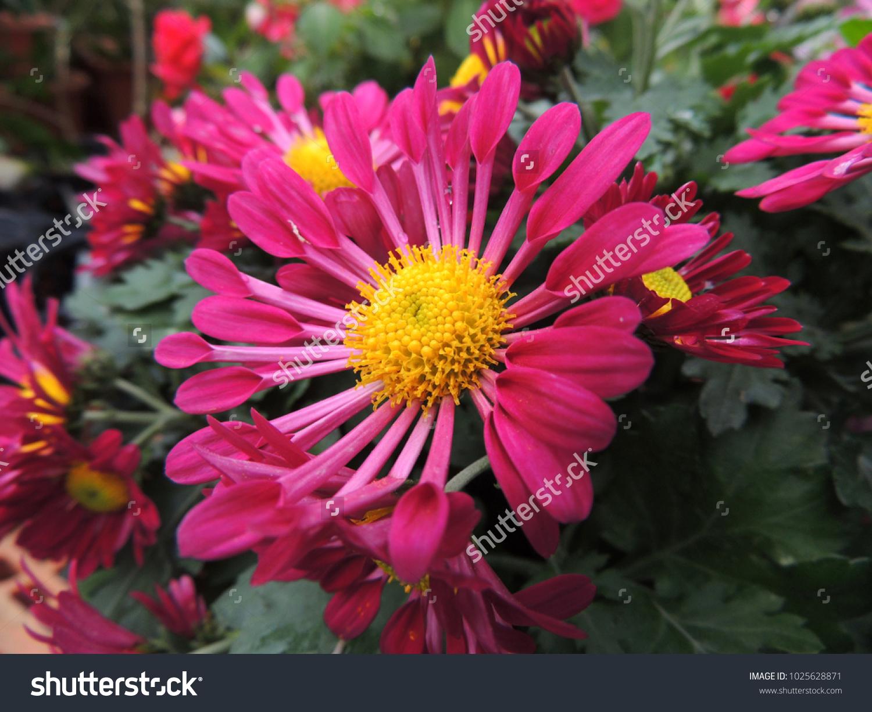 Asteraceae Pink Flowers Family Flowering Plants Stock Photo Royalty