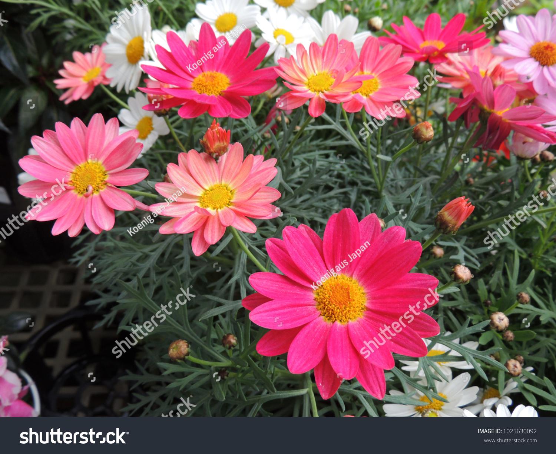 Asteraceaepink Flowers Family Flowering Plants Comprising Stock