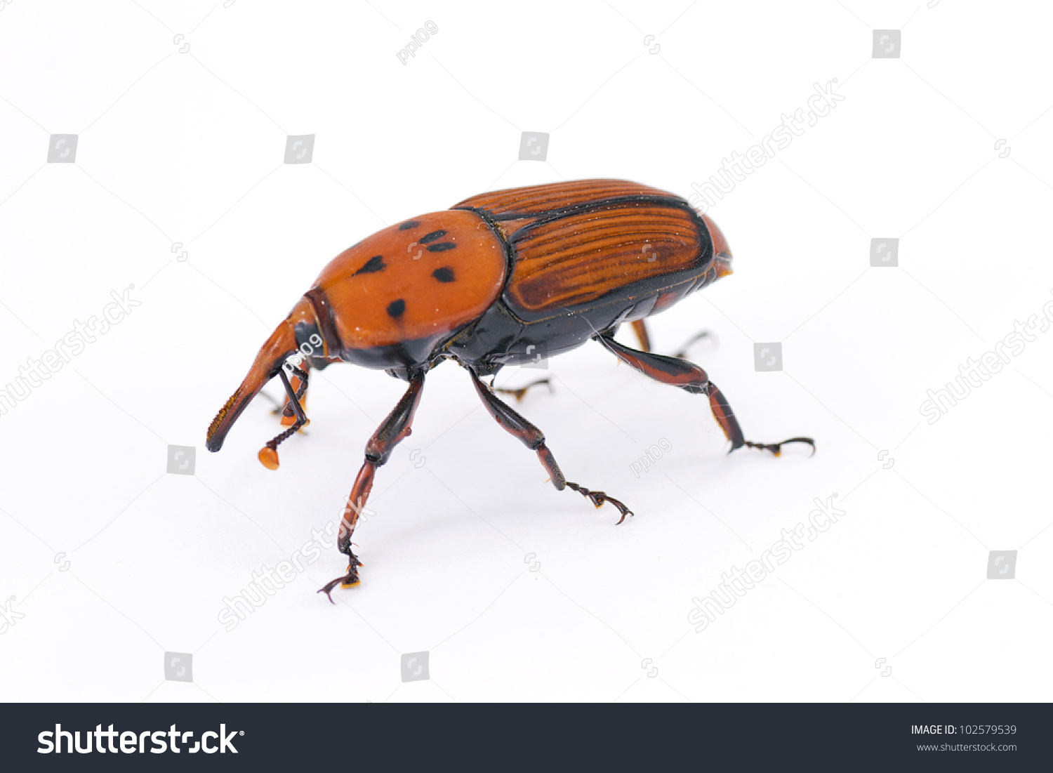 Red weevil insect Stock Photo 102579539 - Avopix com