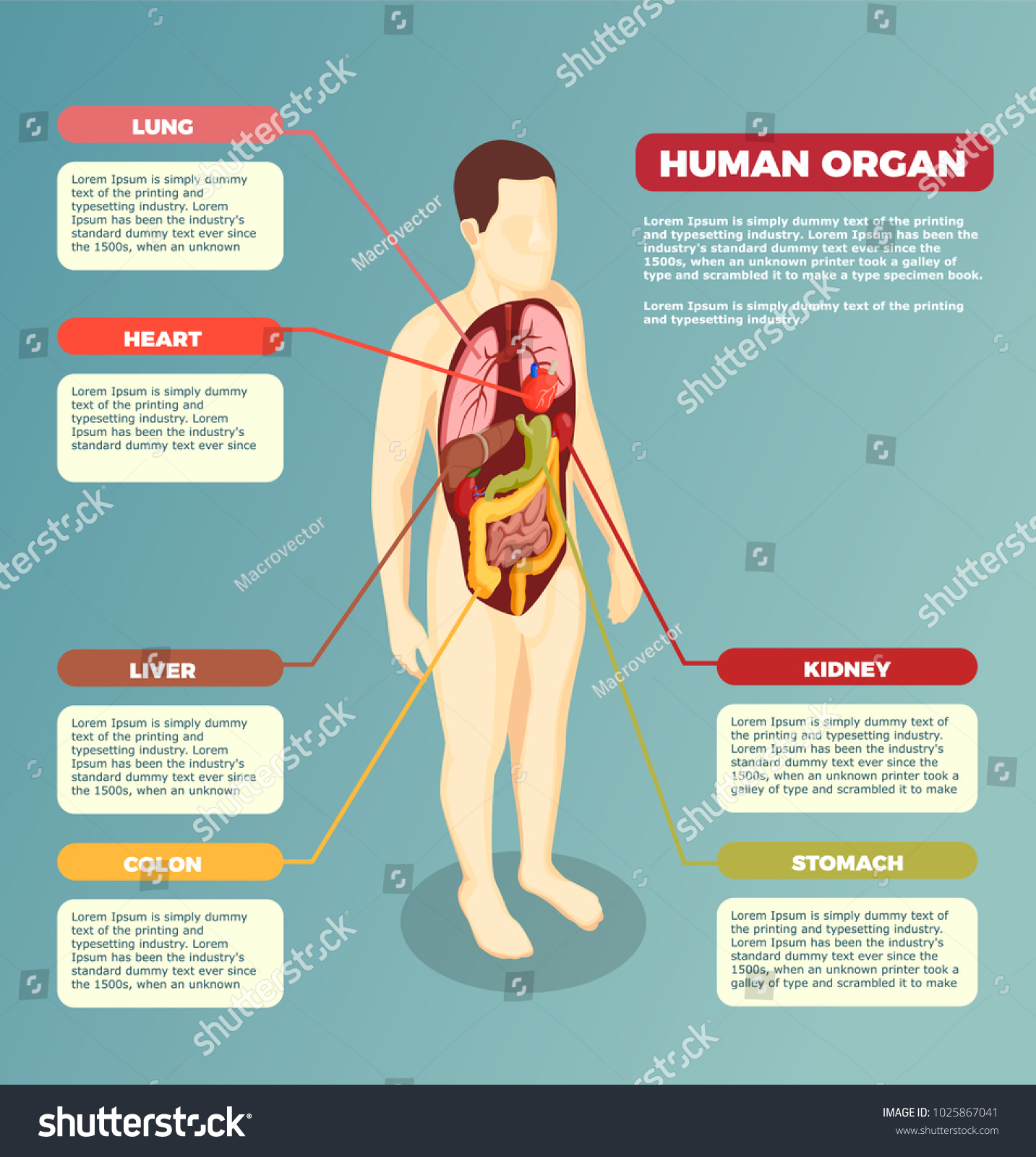 Anatomy Human Body Internal Organs Medical Stock Vektorgrafik