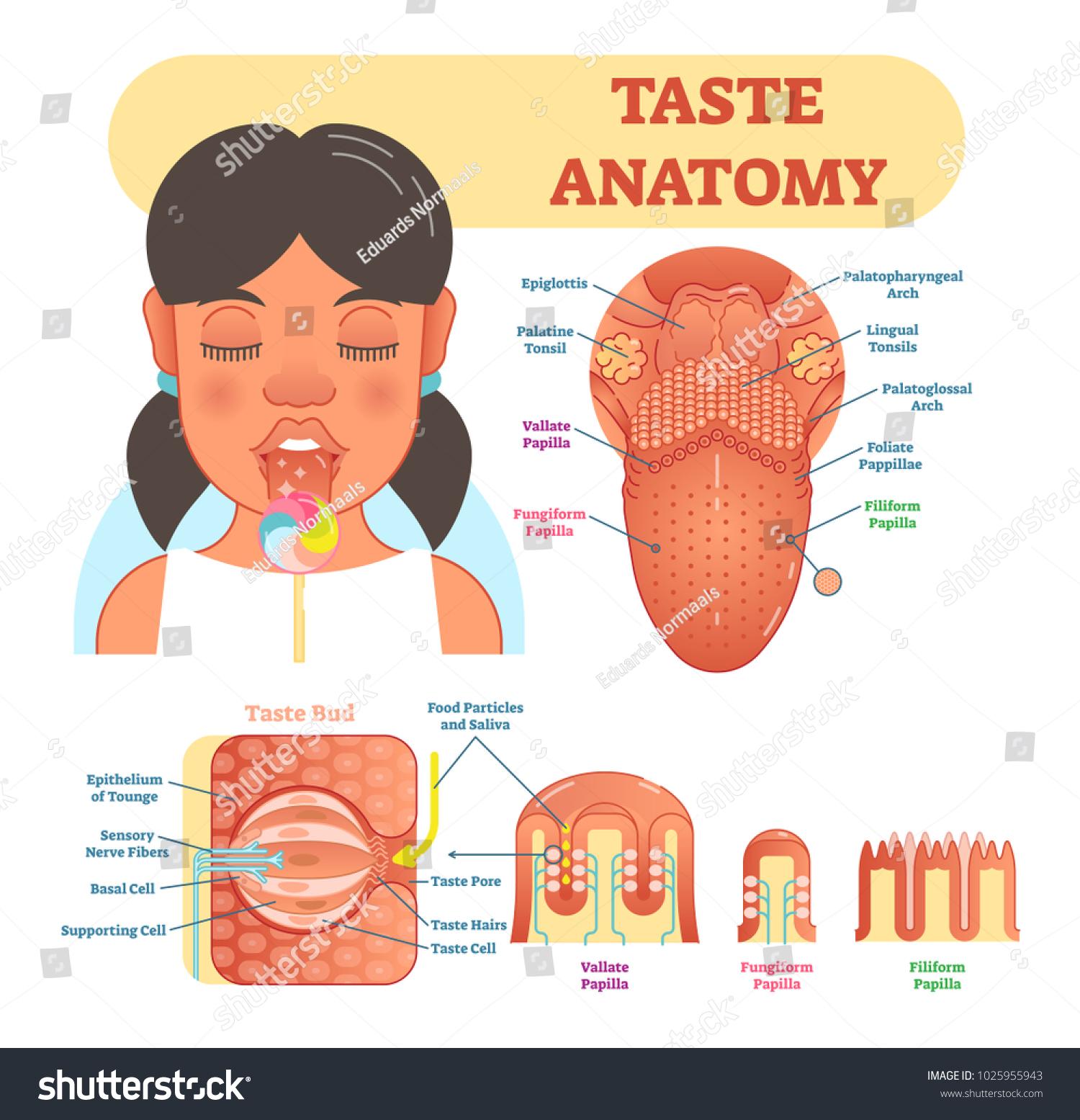 Taste Anatomy Vector Illustration Diagram Educational Stock Vector ...