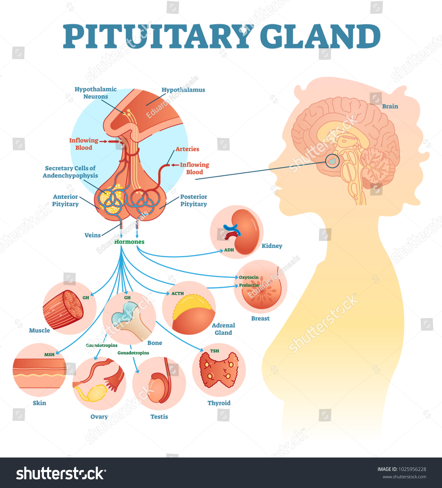 Pituitary Gland Anatomical Vector Illustration Diagram Stock ...