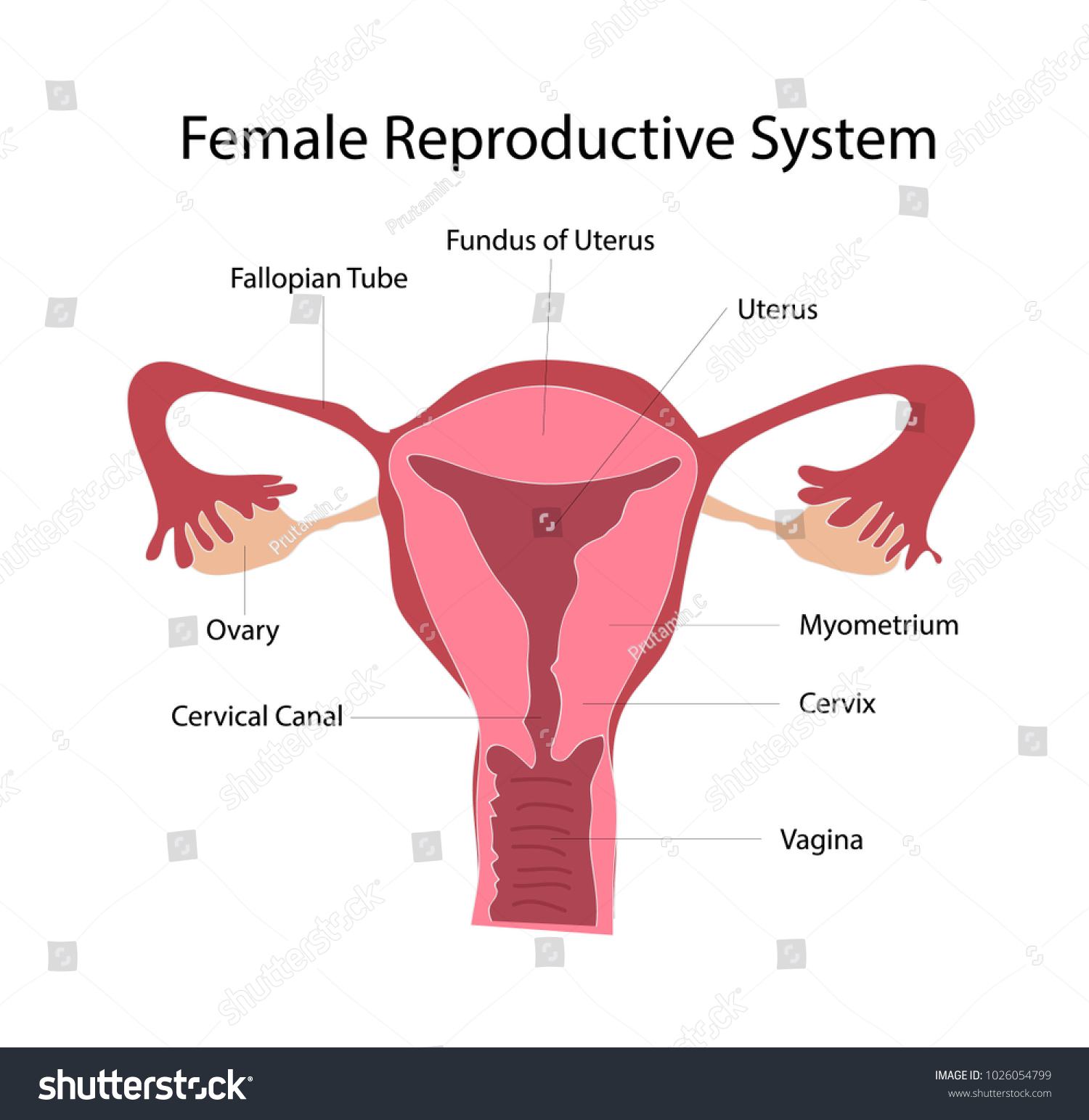 Female Reproduction System Anatomy Vector Education Stock Vector ...