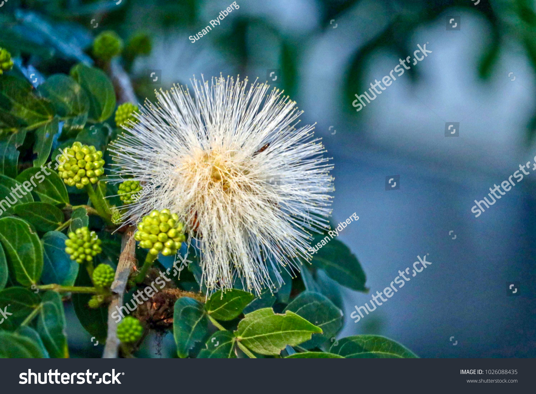 Unusual White Flower Looks Like Fireworks Stock Photo (Edit Now ...