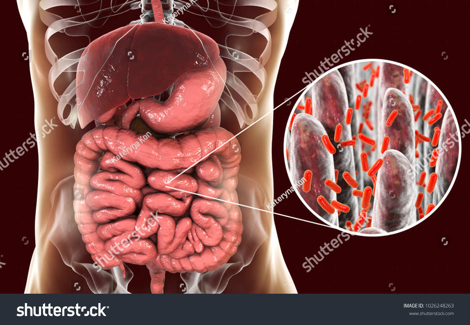 Intestinal Microbiome Anatomy Human Digestive System Stock