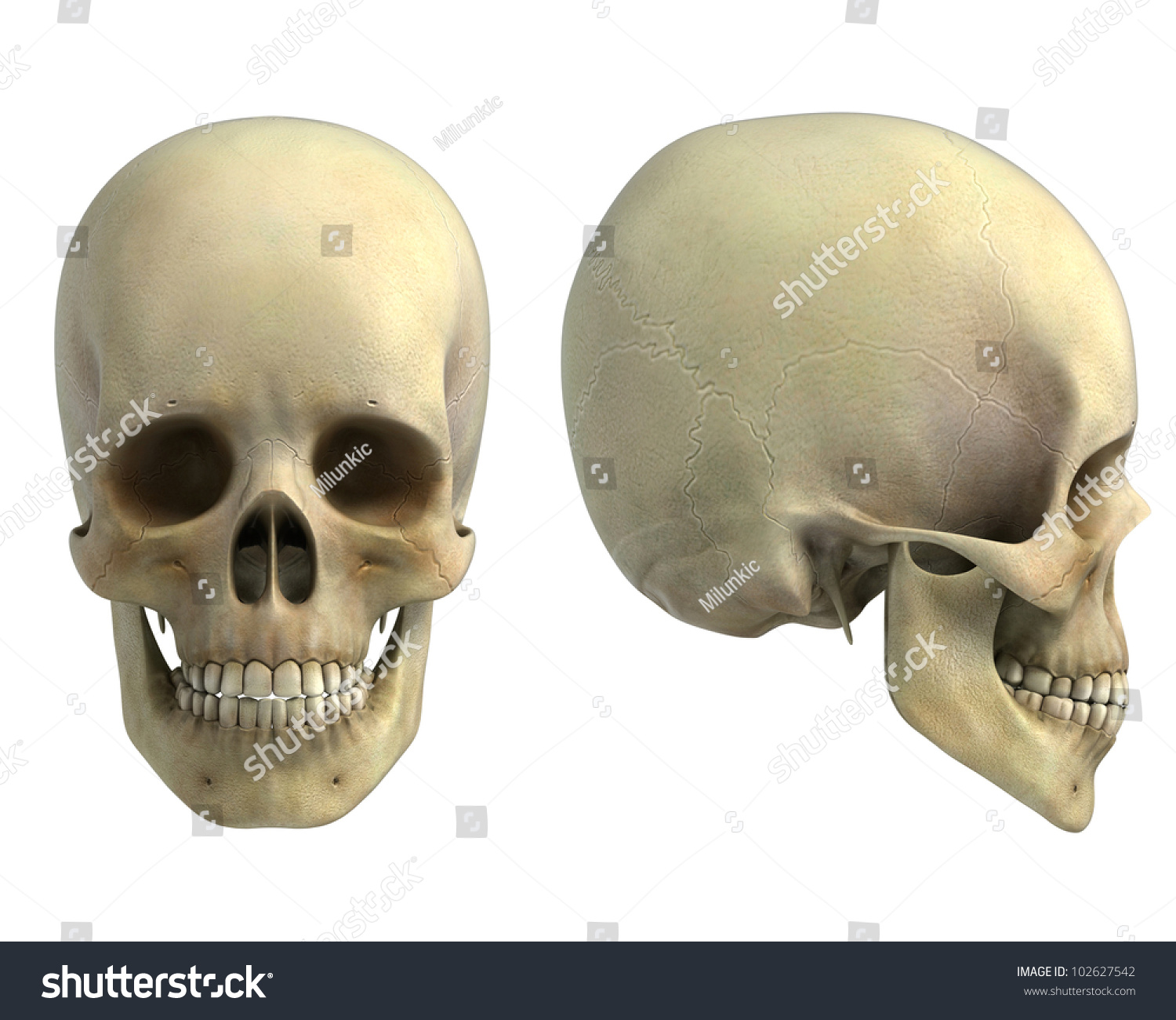 Royalty Free Stock Illustration Of Human Skull Front Side View
