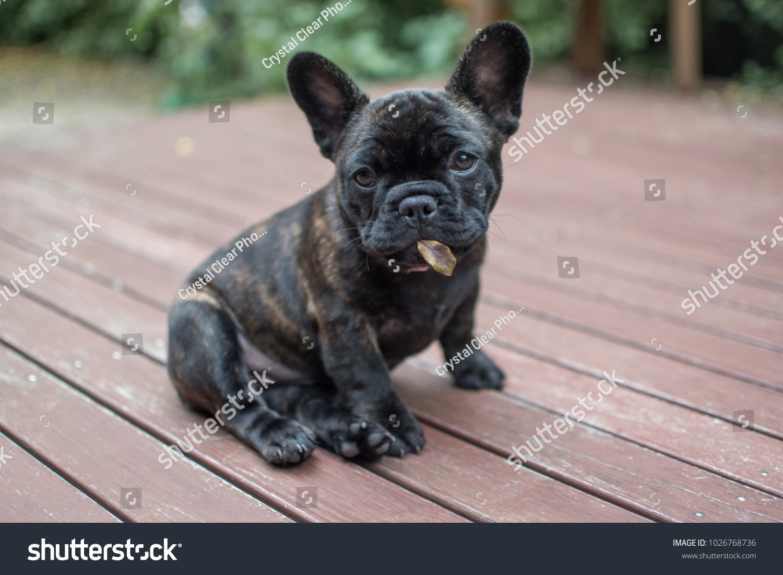 Brindle French Bulldog Puppy Cheekily Holding Stock Photo Edit Now 1026768736