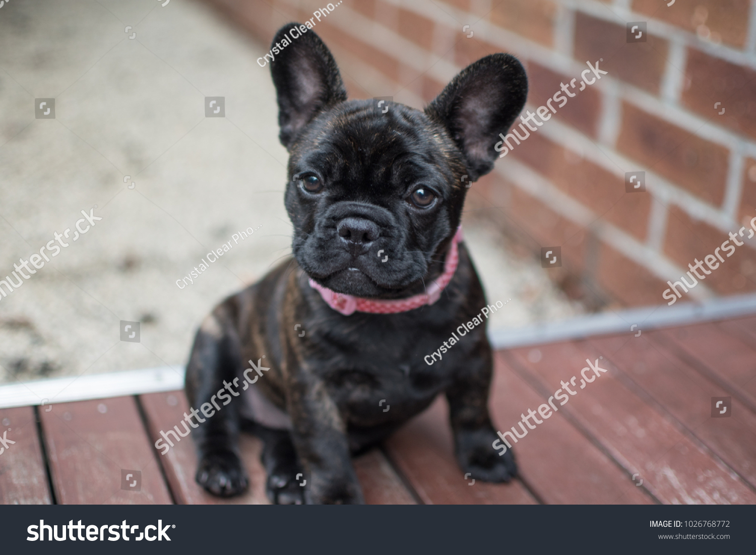 Brindle French Bulldog Puppy Sitting On Stock Photo Edit Now 1026768772