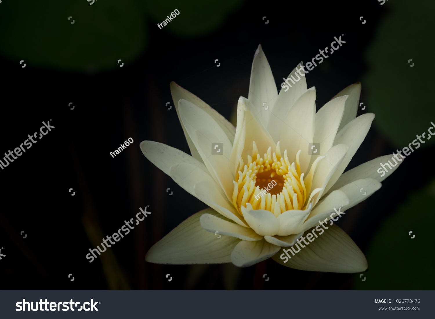 White Water Lily Flower Lotus And White Background The Lotus