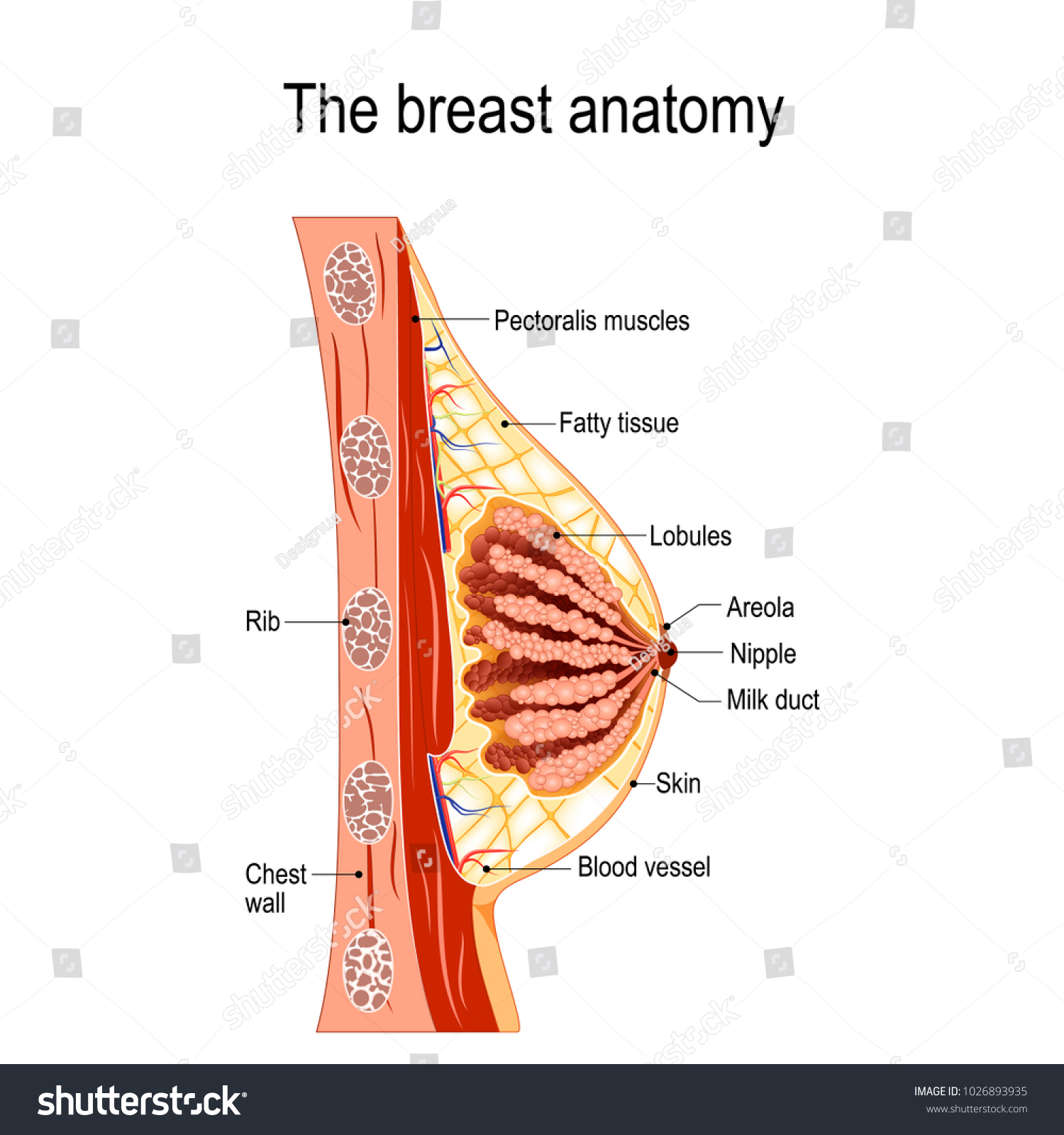 Breast Anatomy Crosssection Mammary Gland Diagram Stockillustration