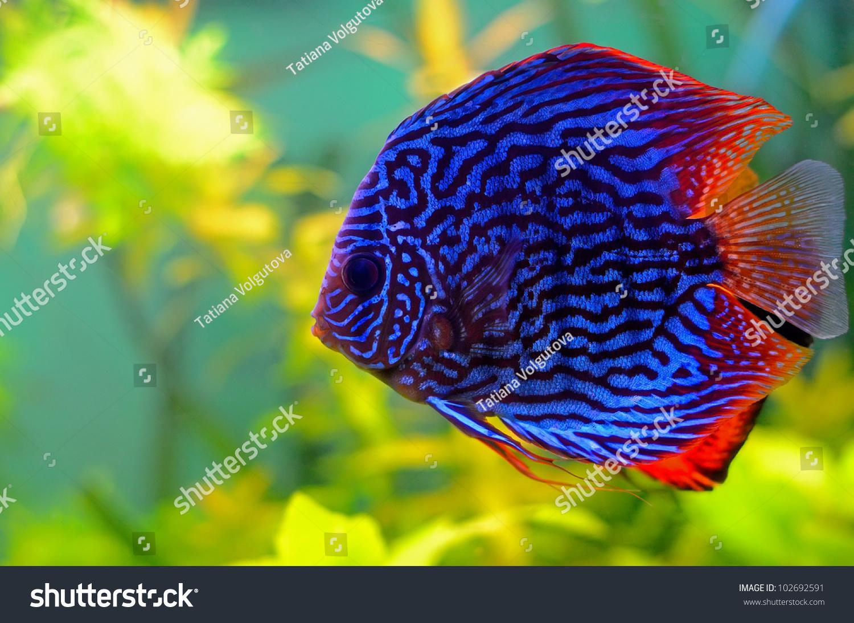 Blue discus fish aquarium stock photo 102692591 shutterstock for Pesce discus
