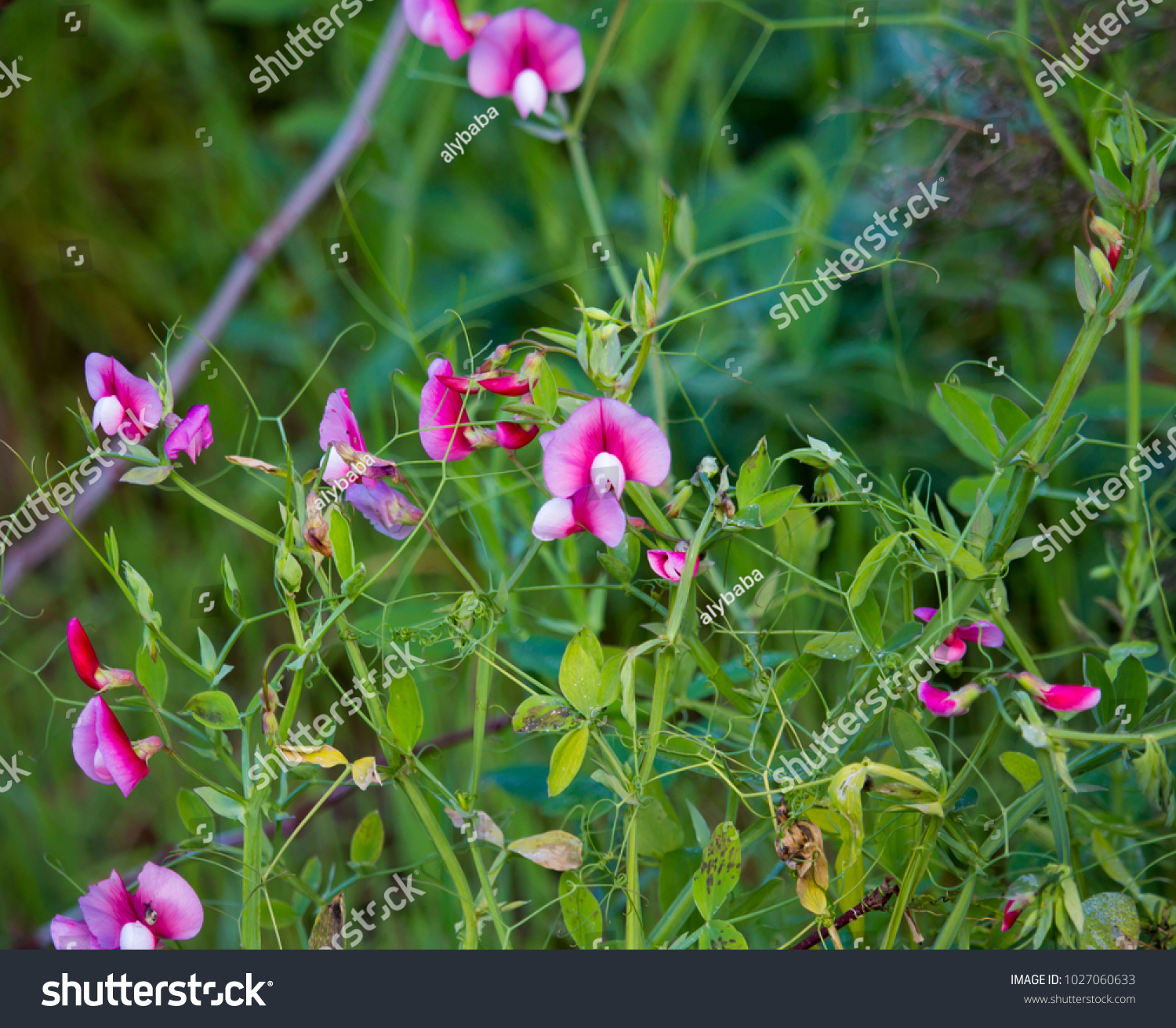 Pretty Pink Flowers Vicia Sativa Common Stock Photo Edit Now