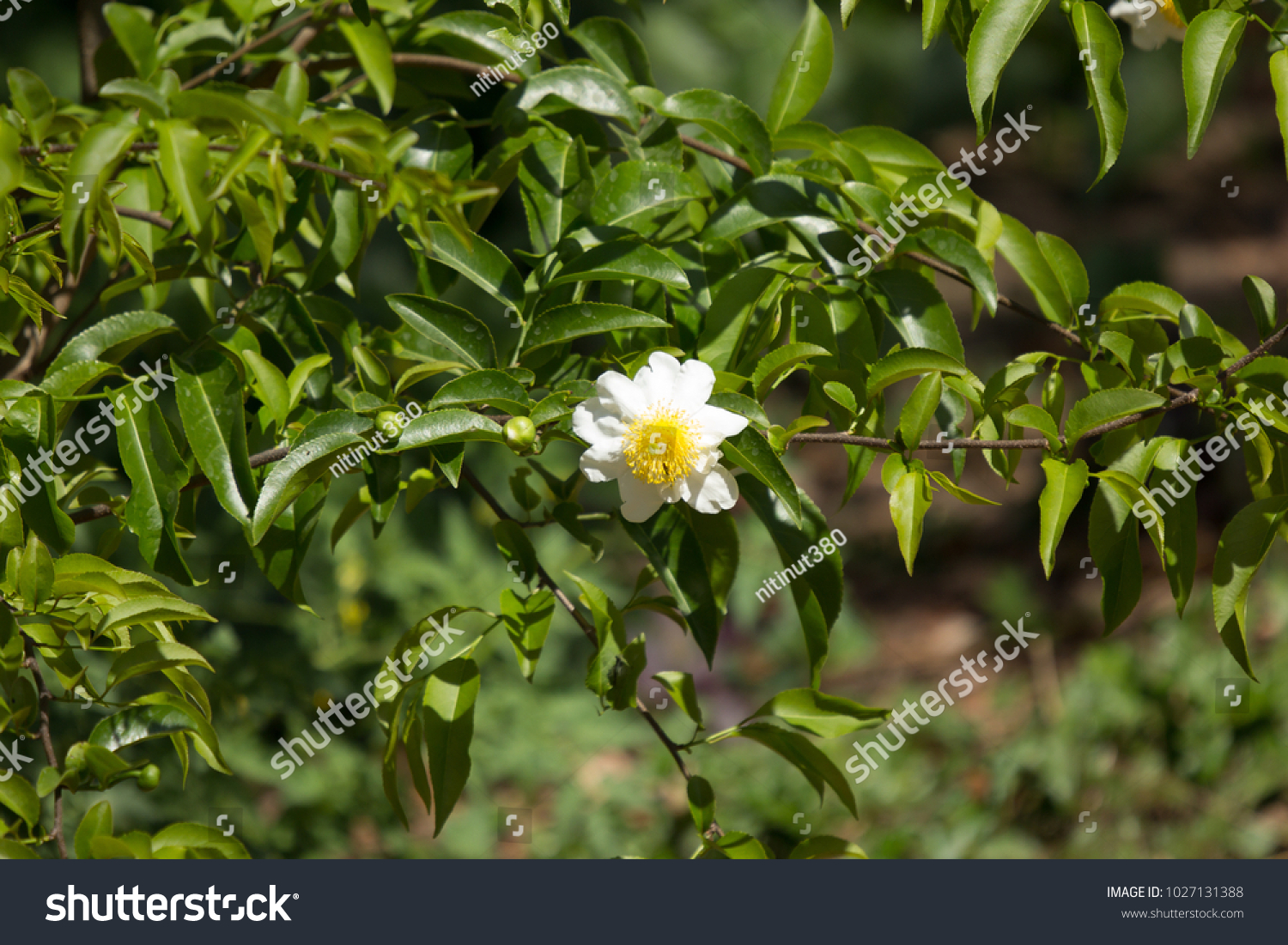 White Plumeria Flowers With Blur Leaves Background Ez Canvas