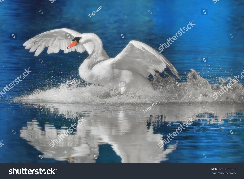 Mute swan landing. Latin name-  Cygnus olor.