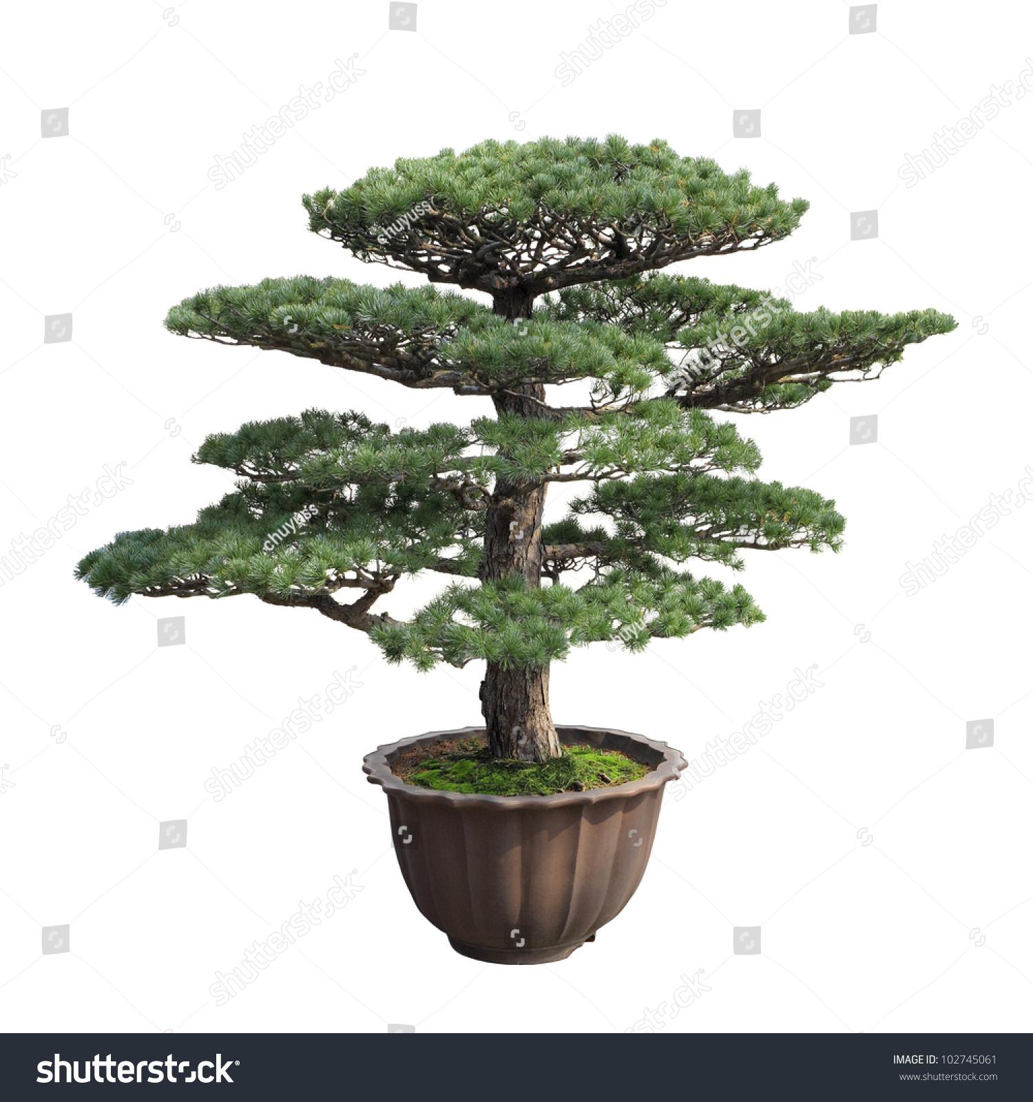 Big Bonsai Tree Pine White Backgroundgeneral Stock Photo Download