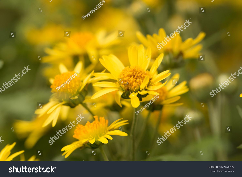 Alishan Chrysanthemums Cute Yellow Flowerschrysanthemum Arisanense