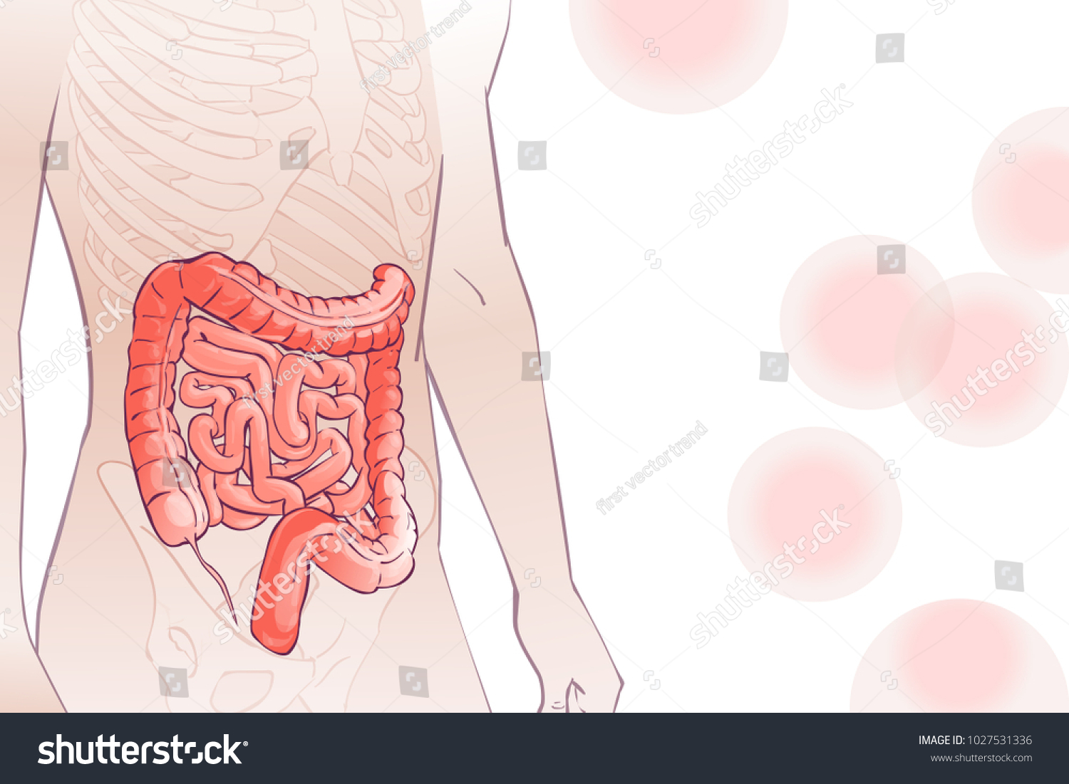 3 D Diagram Illustration Human Colon Internal Stock Vector Royalty