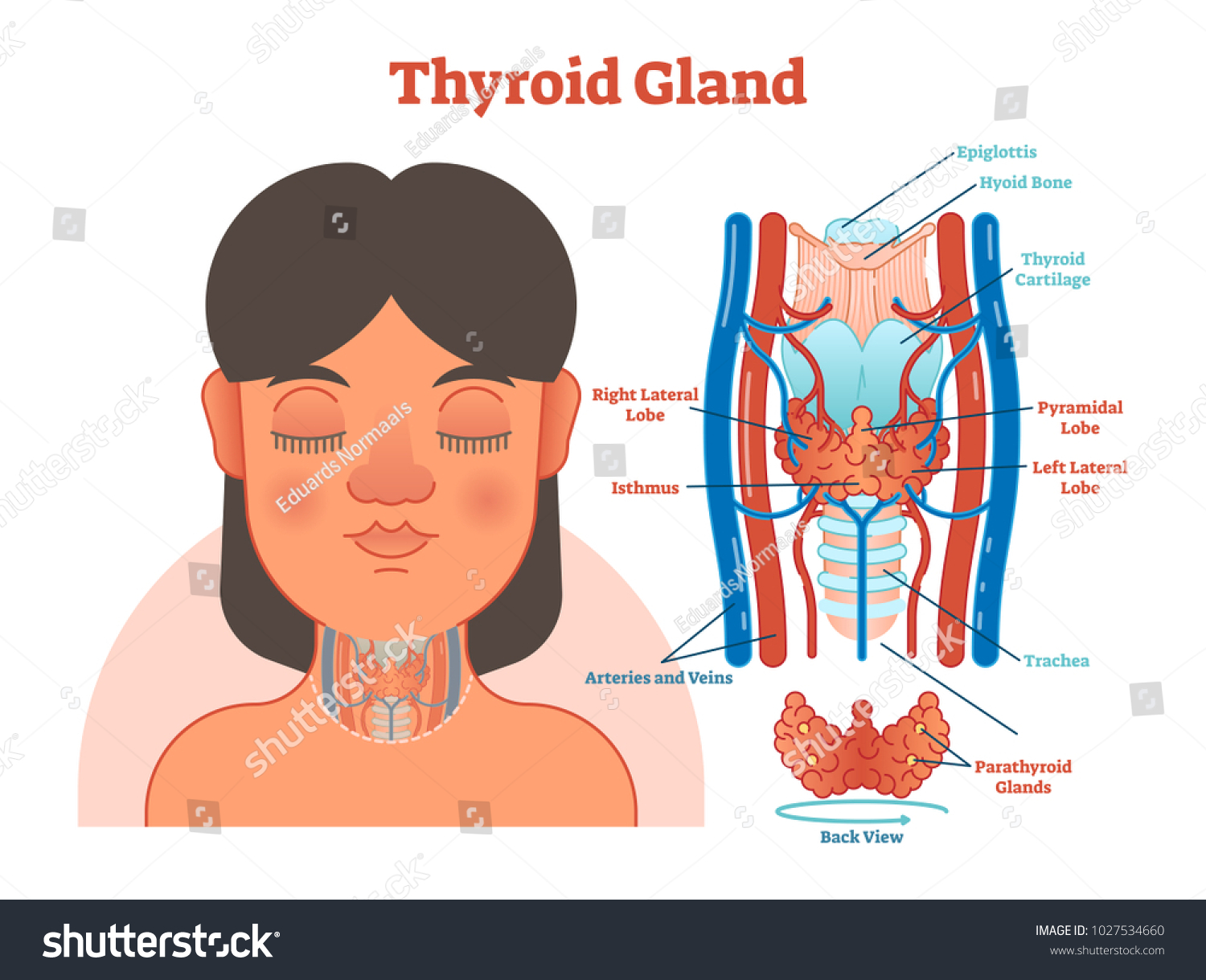 Thyroid Gland Anatomical Vector Illustration Diagram Stock Vector
