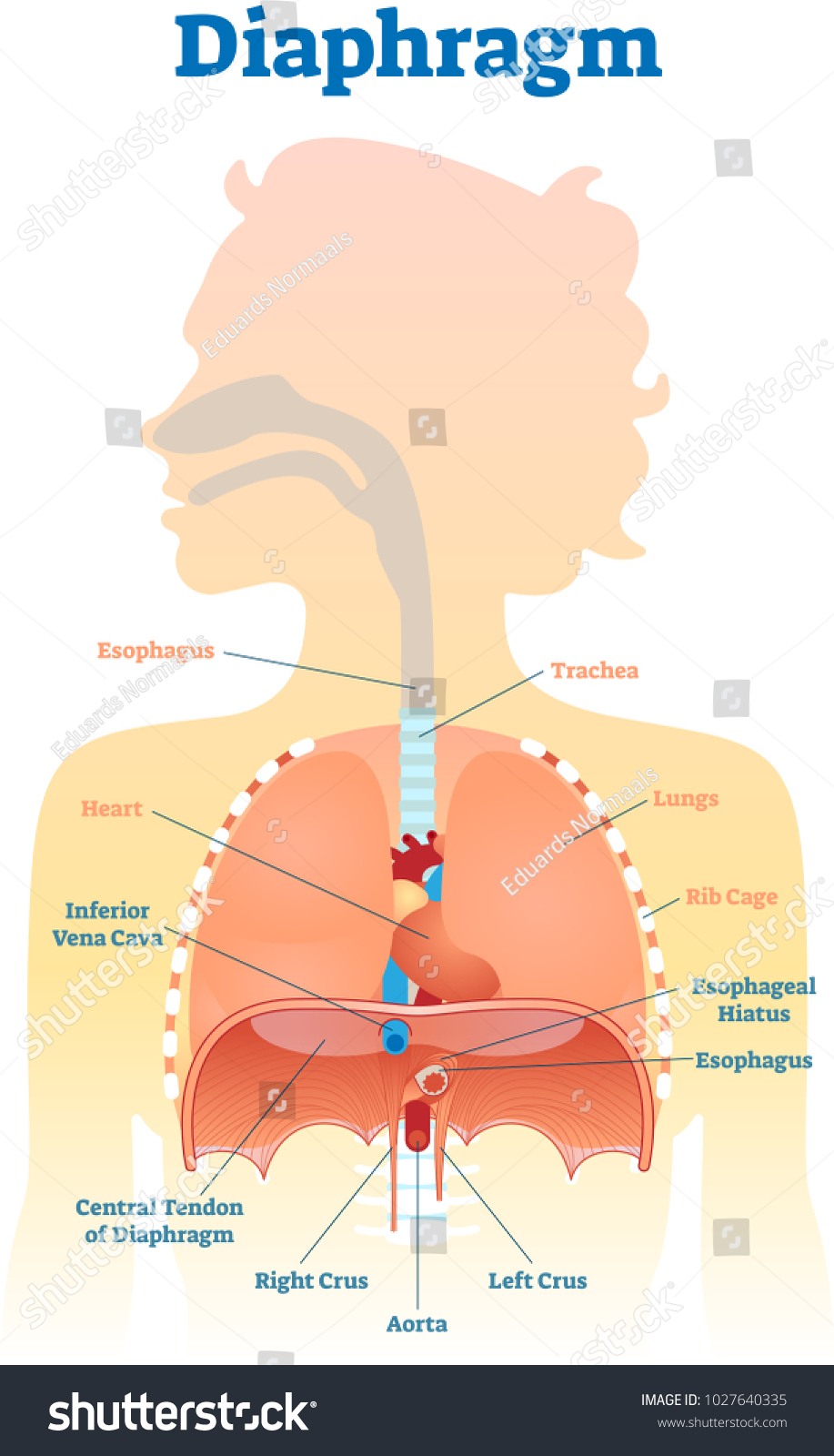 Diaphragm Anatomical Vector Illustration Diagram Educational Stock