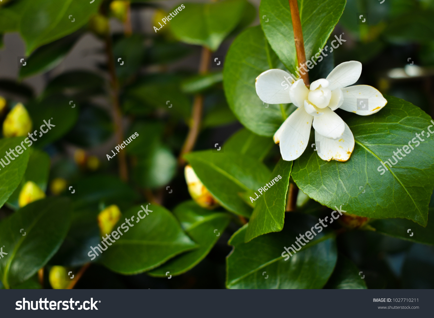 White Flower On A Tree In Thailand Ez Canvas