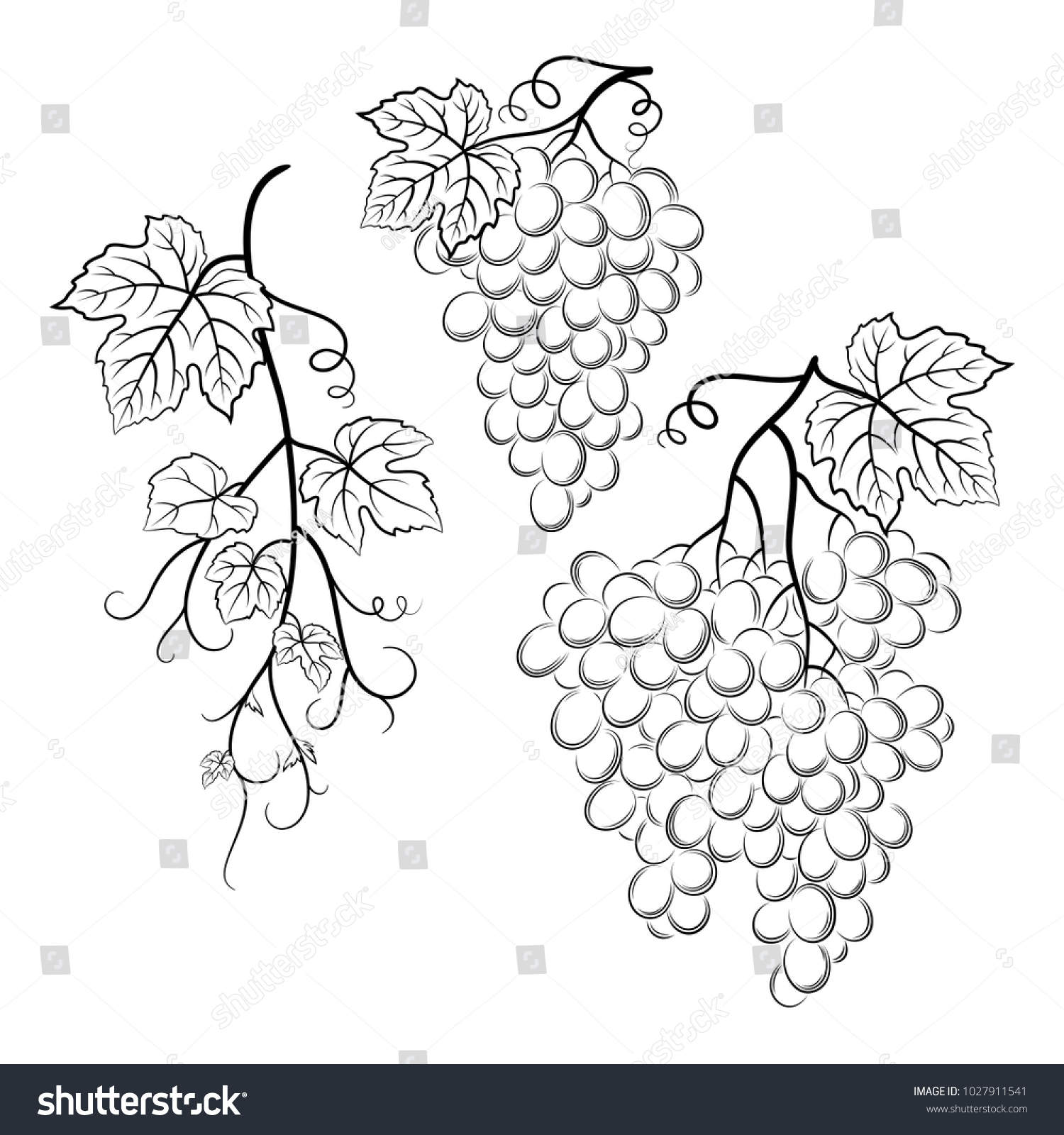 hand drawn graphic illustration of grape on the branch on white ...