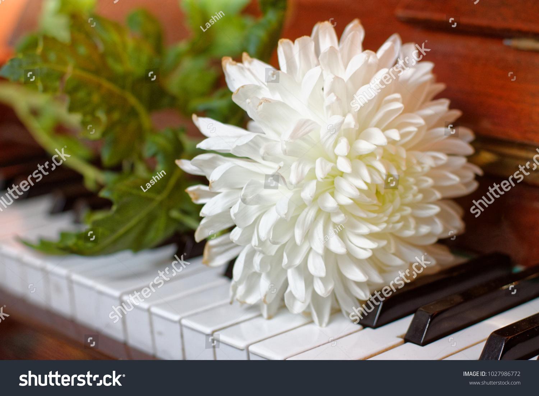 White Chrysanthemum Flower On Green Stem Stock Photo Royalty Free