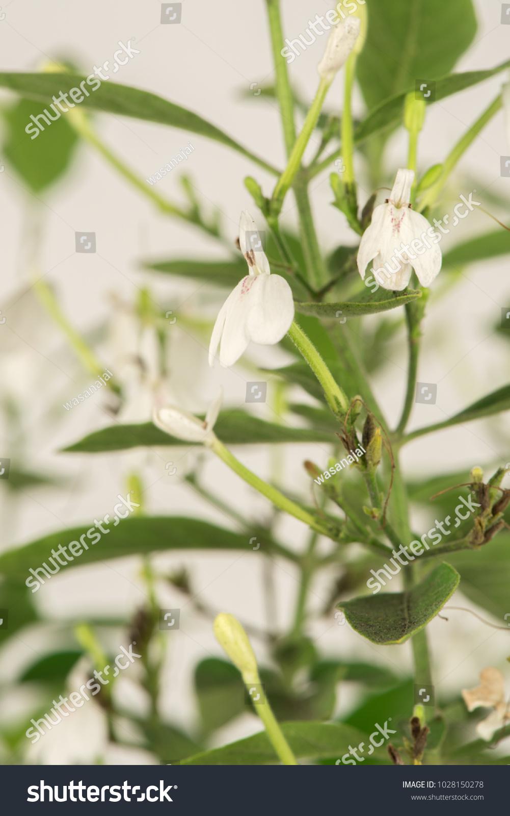White Crane Flower Or Rhinacanthus Nasutus Plant Have Property