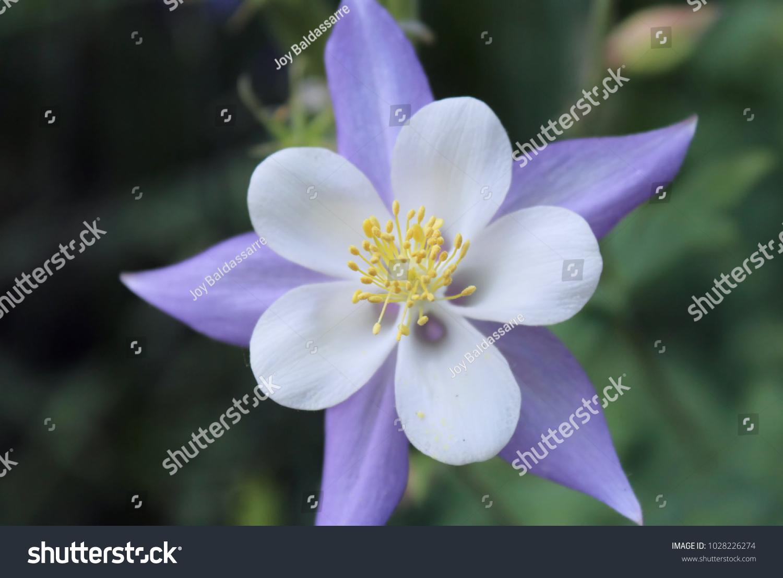 Purple And White Columbine Flower In Garden Ez Canvas