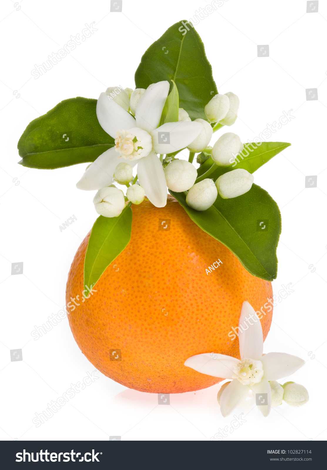 Orange Tree Flowers On Orange Fruit Stock Photo 102827114 ...