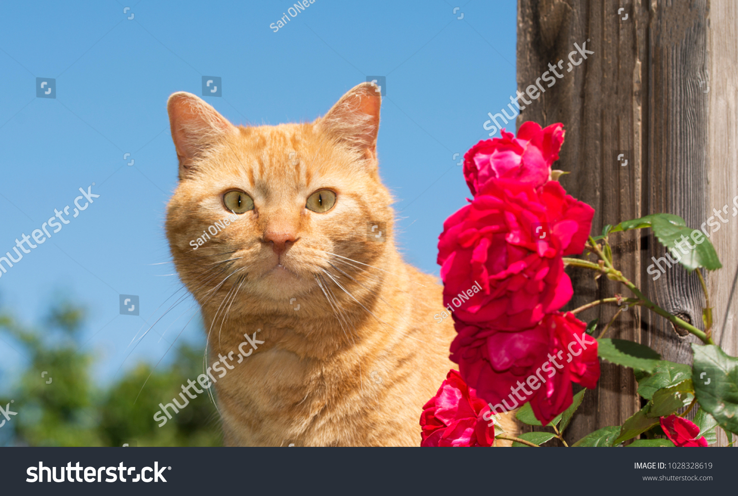 stock-photo-handsome-ginger-tabby-lookin
