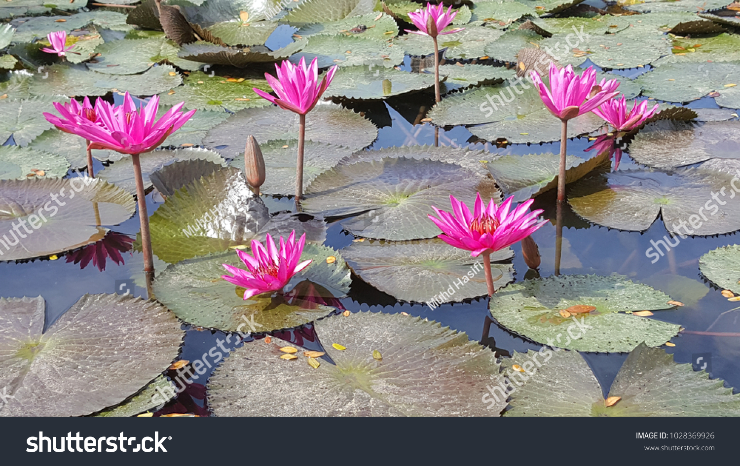Nelumbo genus water plants which known stock photo edit now nelumbo is a genus of water plants which are also known as lotus lotus flowers izmirmasajfo