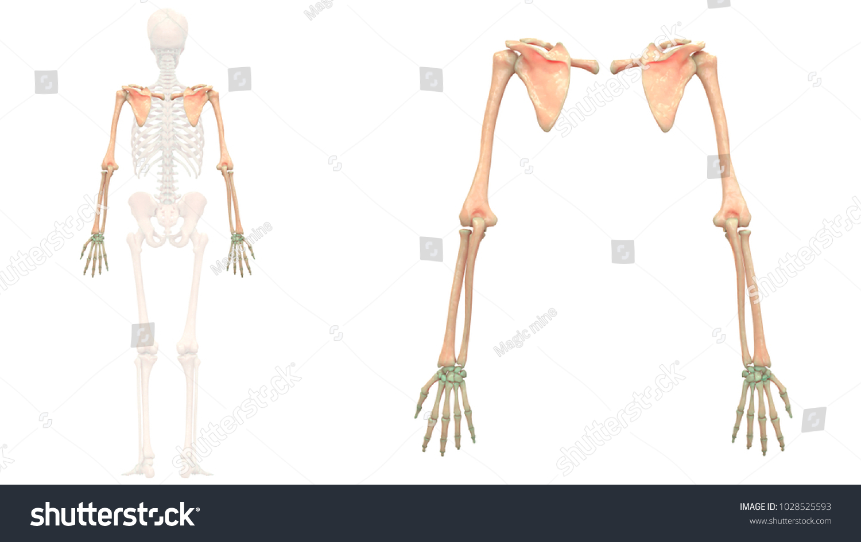 Human Skeleton System Bones Upper Limbs Stock Illustration ...