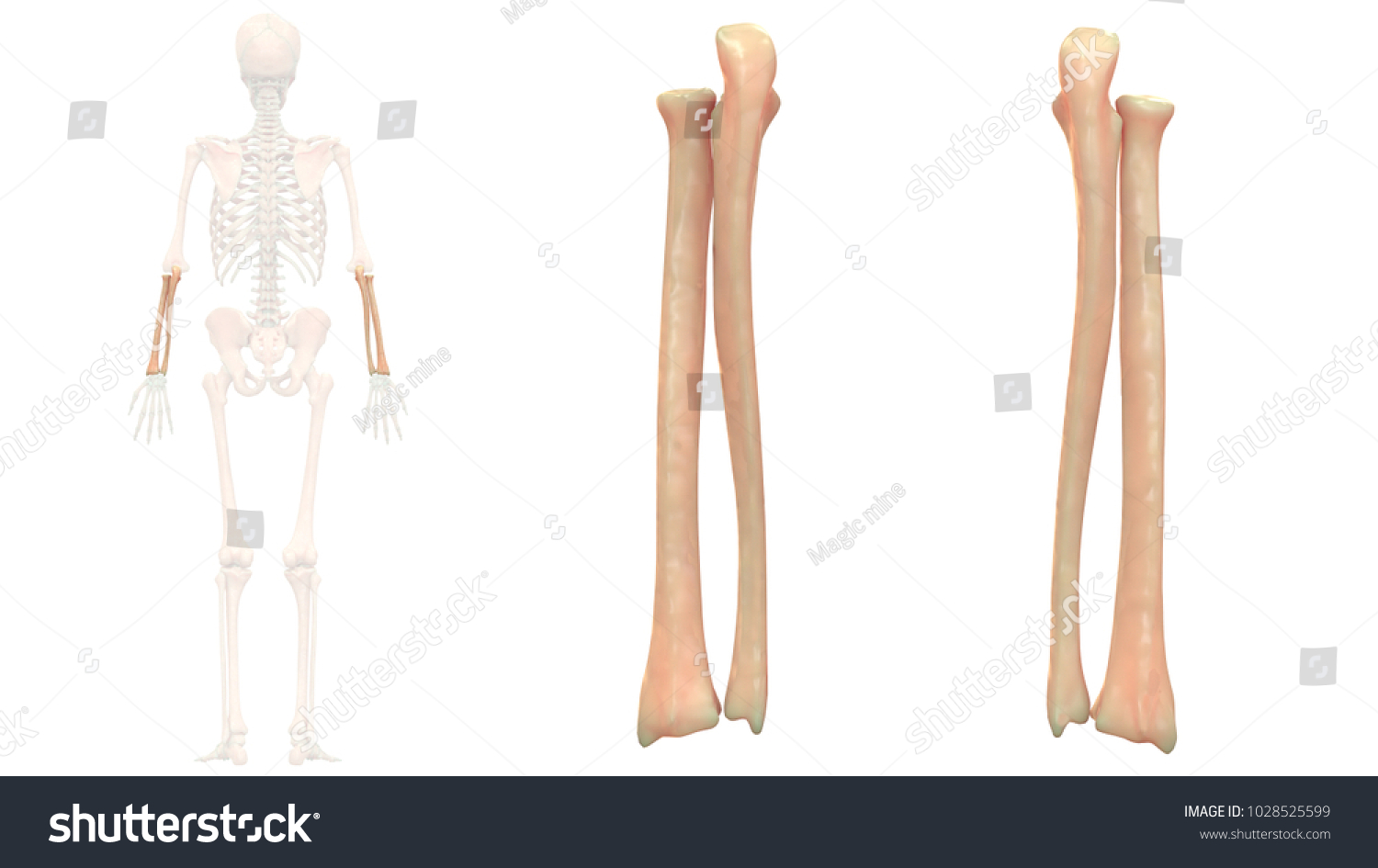 Human Skeleton System Bones Radius Ulna Stock Illustration ...