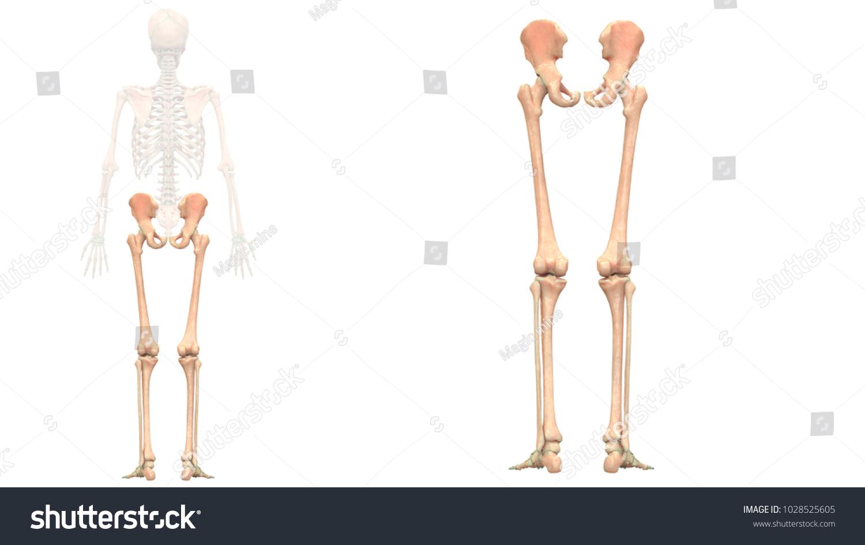 Human Skeleton System Bones Lower Limbs Stock Illustration ...