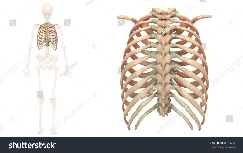 Human Skeleton System Bones Thoracic Skeleton Stock Illustration ...