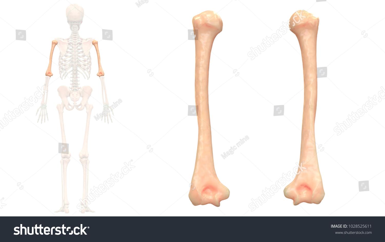 Human Skeleton System Bones Humerus Anatomy Stock Illustration ...