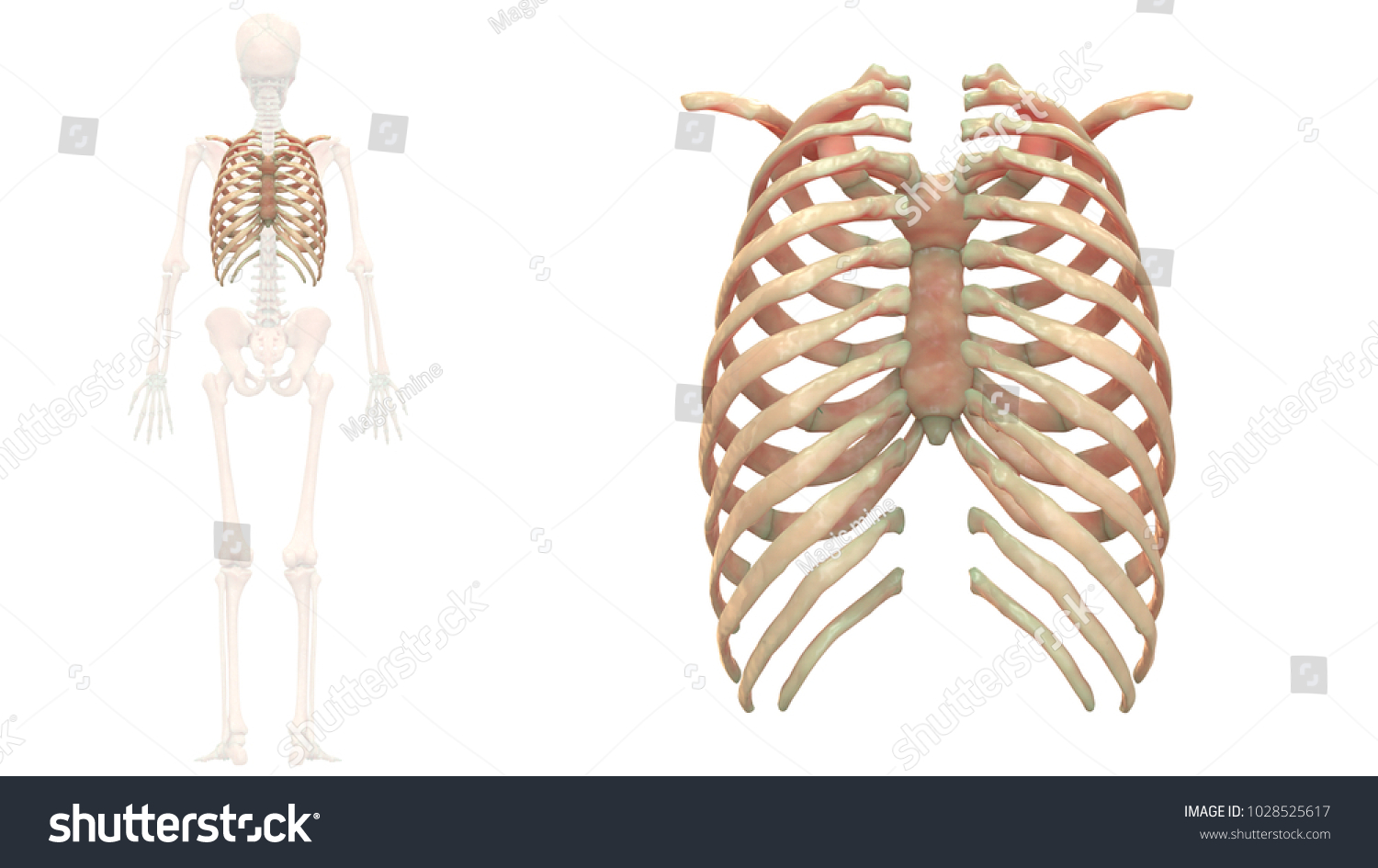 Human Skeleton System Bones Rib Cage Stock Illustration Royalty