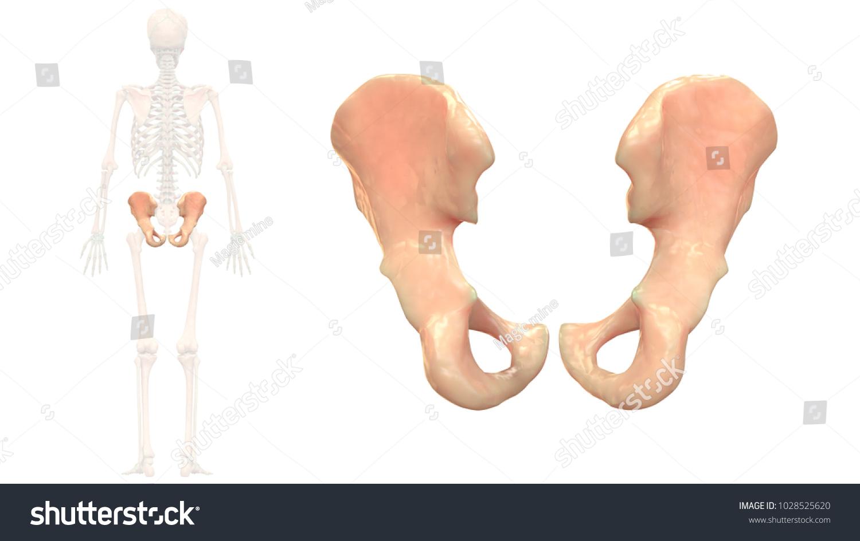Human Skeleton System Bones Hip Anatomy Stock Illustration ...